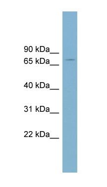 Western blot - LRRN5 antibody (ab99119)