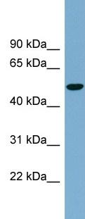 Western blot - Glucose Transporter 8 antibody (ab99132)