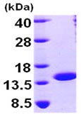 SDS-PAGE - NTF2 protein (ab99139)