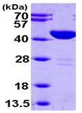 SDS-PAGE - Aspartate Aminotransferase protein (ab99147)