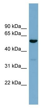 Western blot - ACTR10 antibody (ab99148)