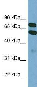 Western blot - KLHL9 antibody (ab99154)