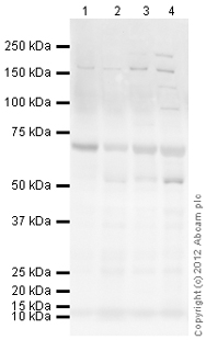 Western blot - Anti-MCSF antibody (ab99178)