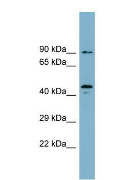 Western blot - WIPI1 antibody (ab99199)