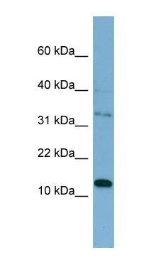 Western blot - TSSC3 antibody (ab99209)