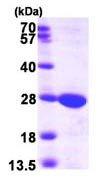 SDS-PAGE - Guanylate kinase protein (ab99210)