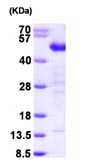 SDS-PAGE - Testin  protein (ab99213)