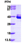SDS-PAGE - Annexin VIII protein (ab99215)