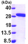 SDS-PAGE - MMAB protein (ab99217)