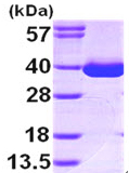 SDS-PAGE - MDH1 protein (ab99244)