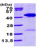 SDS-PAGE - TSTA3 protein (ab99245)
