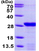 SDS-PAGE - PDAP1 protein (ab99246)