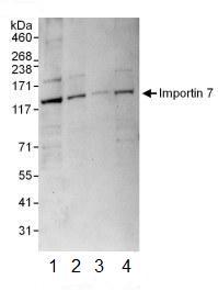 Western blot - Importin 7 antibody (ab99272)