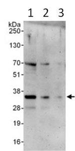 Western blot - NOL12 antibody (ab99276)