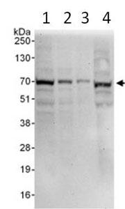 Western blot - ORC2 antibody (ab99277)