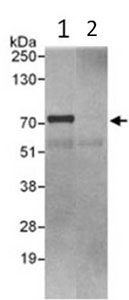 Immunoprecipitation - ORC2 antibody (ab99277)
