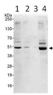 Western blot - ETS1 associated protein II antibody (ab99279)