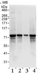 Western blot - SGT1 antibody (ab99293)