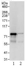 Immunoprecipitation - SGT1 antibody (ab99293)