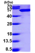 SDS-PAGE - UAP56 protein (ab99297)