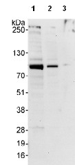 Western blot - WHIP antibody (ab99316)