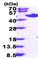 SDS-PAGE - S adenosylhomocysteine hydrolase protein (ab99326)