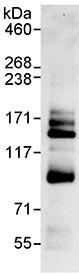 Immunoprecipitation - ANKZF1 antibody (ab99330)