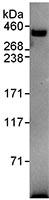 Immunoprecipitation - Pericentrin antibody (ab99341)
