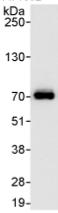 Immunoprecipitation - CPSF6 antibody (ab99347)