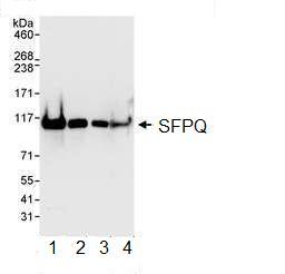 Western blot - SFPQ antibody (ab99357)
