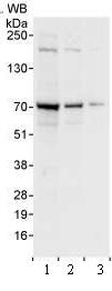 Western blot - WDR79 antibody (ab99376)