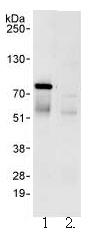 Immunoprecipitation - WDR79 antibody (ab99376)