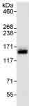 Immunoprecipitation - AZI1 antibody (ab99379)