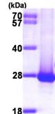SDS-PAGE - DIRAS1 protein (ab99389)