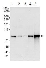 Western blot - MSK2 / RSK-B antibody (ab99411)