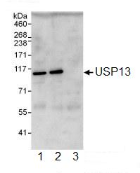 Immunoprecipitation - USP13 antibody (ab99421)
