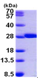 SDS-PAGE - GSTM2 protein (ab99435)