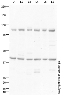 Western blot - Prostaglandin D2 Receptor antibody (ab99446)