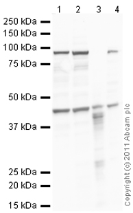 Western blot - Anti-Prostaglandin D2 Receptor antibody (ab99446)