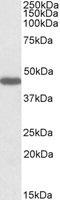 Western blot - GPR73B antibody (ab99453)