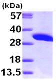 SDS-PAGE - IMPA1 protein (ab99519)