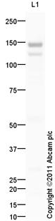 Western blot - Ceruloplasmin antibody (ab99533)