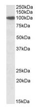 Western blot - Anti-SEC23 antibody (ab99552)