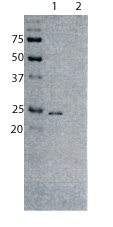 Western blot - Rat monoclonal [187.1]  Secondary Antibody to Mouse kappa - light chain (AP) (ab99616)