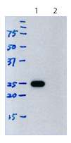 Western blot - Rat monoclonal [187.1]  Secondary Antibody to Mouse kappa - light chain (HRP) (ab99617)