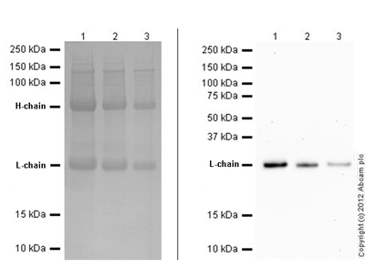 Western blot - Mouse monoclonal [SB62a]  Secondary Antibody to Rabbit IgG - light chain (AP) (ab99696)