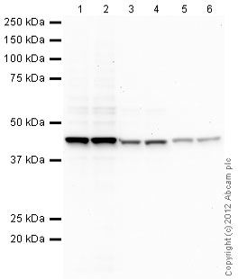 Western blot - Mouse monoclonal [SB62a]  Secondary Antibody to Rabbit IgG light chain (HRP) (ab99697)