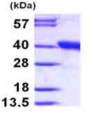 SDS-PAGE - DDAH1 protein (ab99863)