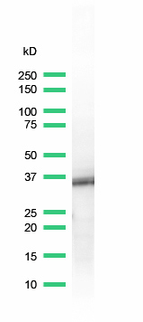 Western blot - BOB1 antibody [SP92] (ab99891)
