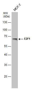Western blot - Anti-E2F1 antibody [6B5] (ab101)